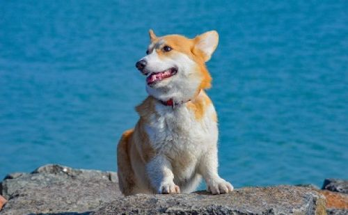 Welsh Corgi Adoptez Un Chien Royal Animalweb